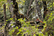 Adult, wild, Red panda, Ailurus fulgens, in the forest zone, right under the Meili Snow Mountain, near the Minyong glacier, at about 3000 m level. Meili Snow Mountain National Park, Yunnan, China