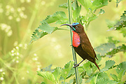 A bullet shot across the road in Nairobi National Park, hesitated, and then dropped onto a flower. A Scarlet-chested Sunbird had appeared.