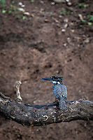 Single Giant Kingfisher sitting in a tree on the banks of the Chobe River, Botswana.