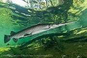 Longnose Gar, Lepisosteus osseus, gather in the sunlit shallows of a north central Florida spring.