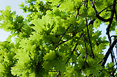 Oak leaves, spring
