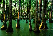 Sunrise in cypress & tupelo swamp - Mississippi