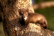 Juveniles Beech marten (Martes foina) on a branch. This species of marten is native to much of Europe and Central Asia, though it has established a feral population in North America. Photographed in Israel in January