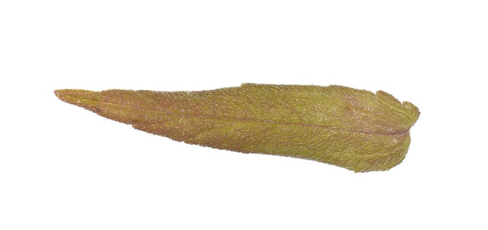 Red Bartsia - Odontites vernus