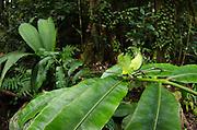 Leaf Katydid (Cycloptera speculata)<br /> Yasuni National Park, Amazon Rainforest<br /> ECUADOR. South America<br /> HABITAT & RANGE:Leaf Katydid Nymph (Cycloptera sp.)<br /> Yasuni National Park, Amazon Rainforest<br /> ECUADOR. South America<br /> HABITAT & RANGE: