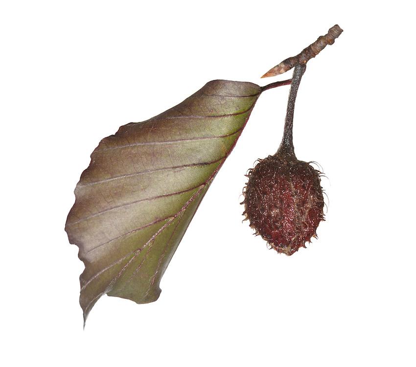 Copper Beech - Fagus sylvatica'Atropunicea' (Purpurea) - beech mast/fruit
