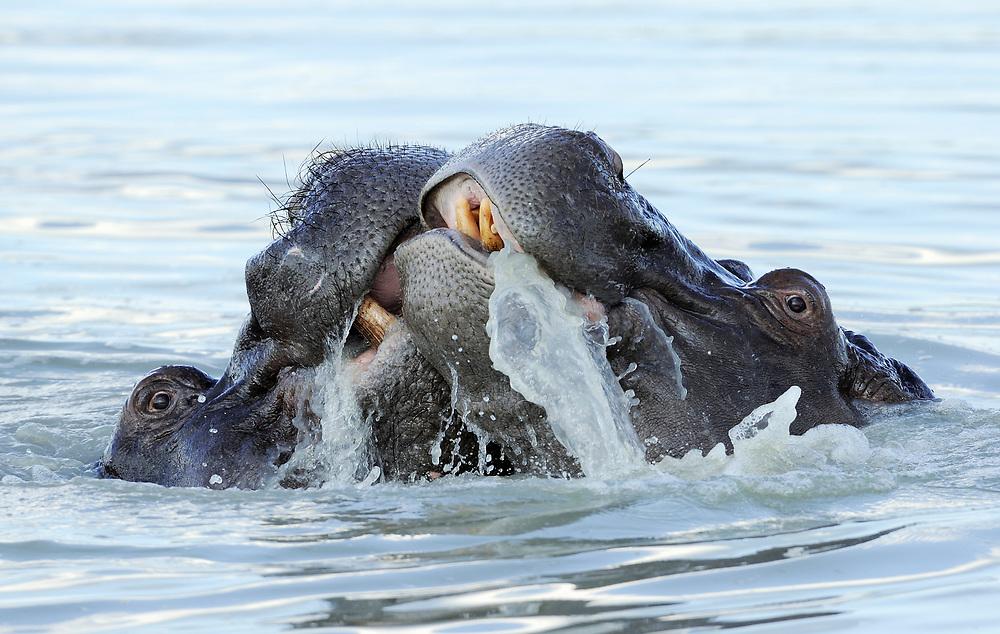 Hippopotamus, Hippopotamus amphibius, Hwange National Park, Zimbabwe