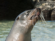 """A Galápagos Sea Lion (Zalophus wollebaeki) barks on Isla Genovesa (or Tower Island), Ecuador, South America. This mammal in the Otariidae family breeds exclusively on the Galápagos Islands and in smaller numbers on Isla de la Plata, Ecuador. Being fairly social, and one of the most numerous species in the Galápagos archipelago, they are often spotted sun-bathing on sandy shores or rock groups or gliding gracefully through the surf. They have a loud """"bark"""", playful nature, and graceful agility in water. Slightly smaller than their Californian relatives, Galápagos Sea Lions range from 150 to 250 cm in length and weigh between 50 to 400 kg, with the males averaging larger than females. Sea lions have external ear-like pinnae flaps which distinguish them from their close relative with whom they are often confused, the seal. When wet, sea lions are a shade of dark brown, but once dry, their color varies greatly. The females tend to be a lighter shade than the males and the pups a chestnut brown. In 1959, Ecuador declared 97% of the land area of the Galápagos Islands to be Galápagos National Park, which UNESCO registered as a World Heritage Site in 1978. Ecuador created the Galápagos Marine Reserve in 1998, which UNESCO appended in 2001."""