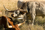 Longhorn Cattle, Bull with herd displaying flehmen response