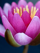 Nymphaea 'Strawberry pink' - waterlily
