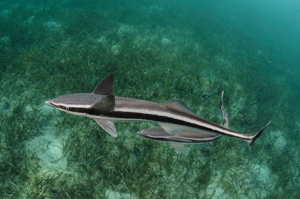 Sharksucker (Echeneis naucrates)<br /> Marine Megafauna Research. Large marine fish, sharks, rays & turtles.<br /> MAR Alliance<br /> Halfmoon Caye<br /> Lighthouse Reef Atoll<br /> Belize<br /> Central America