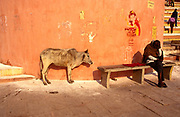 A cow and a man on the ghats in Varanasi