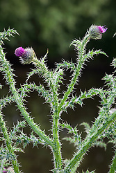 Welted Thistle. Carduus acanthoides