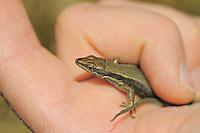 Aurelio´s rock lizard; Iberolacerta aurelioi, Creussans, Andorra