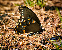 Spicebush Swallowtail Butterfly on the ground to get salt from the mud. Image taken with a Nikon 1 V3 camera and 70-300 mm VR lens (ISO 200, 300 mm, f/5.6, 1/100 sec).