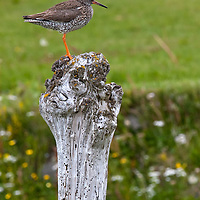 After leaving the Látrabjarg birdcliffs we saw a Common Redshank sitting on the top of a pole.
