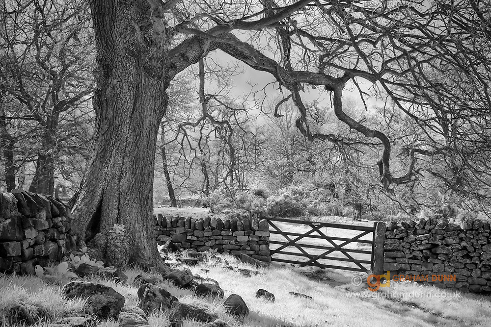 A characterful old tree arches over a wooden gate in the Derwent Valley. Glowing foreground grasses are illuminated by sunlight and emphasise the shape and structure of the gate. An intimate landscape scene in the Derbyshire Peak District, captured in infrared and converted to black & white.