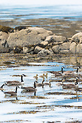 Flock of Canada Geese, Branta canadensis, form goose family group with goslings in loch on Isle of Mull in the Inner Hebrides and Western Isles, West Coast of Scotland