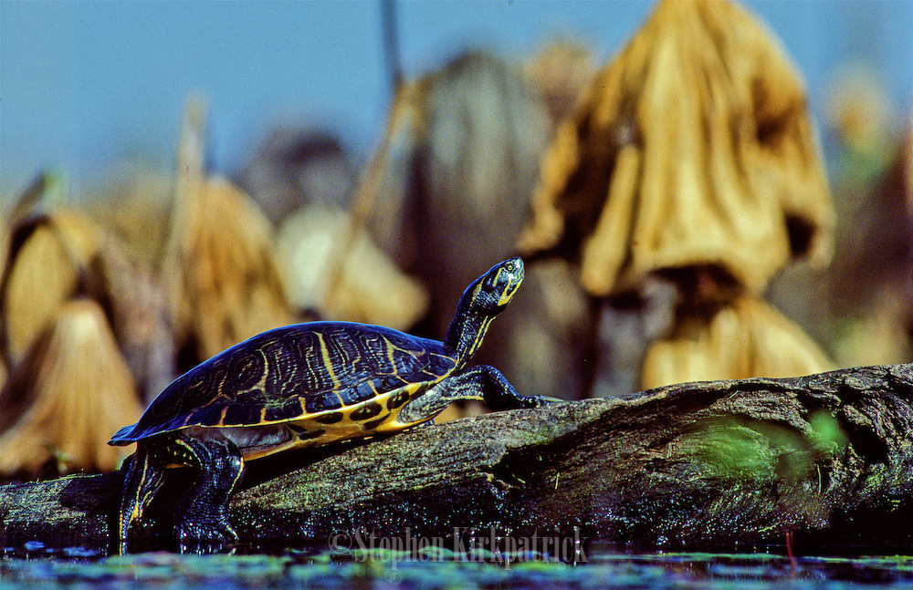 River Cooter turtle on log in a Mississippi swamp.