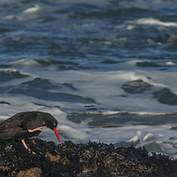 A Black Oystercatcher (Haematopus bachmani) forages along the Pacific Coast near Pescadero, California.