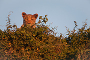 A leopard (Panthera pardus) peering down from a tree top at sunset, Khwai River, Botswana,Africa