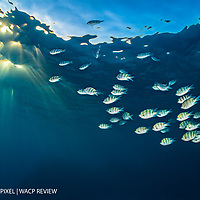 A group of scissortail sergeants (scissortail damselfish: Abudefduf sexfasciatus) swim out in open water in the evening on a reef. Beacon Rock, Sha'ab Mahmood, Sinai. Egypt. Red Sea.
