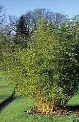 Phyllostachys bambusoides 'Castilloni' ( Bamboo )