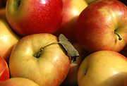 Close up selective focus photograph of a pile of Jonagold Apples