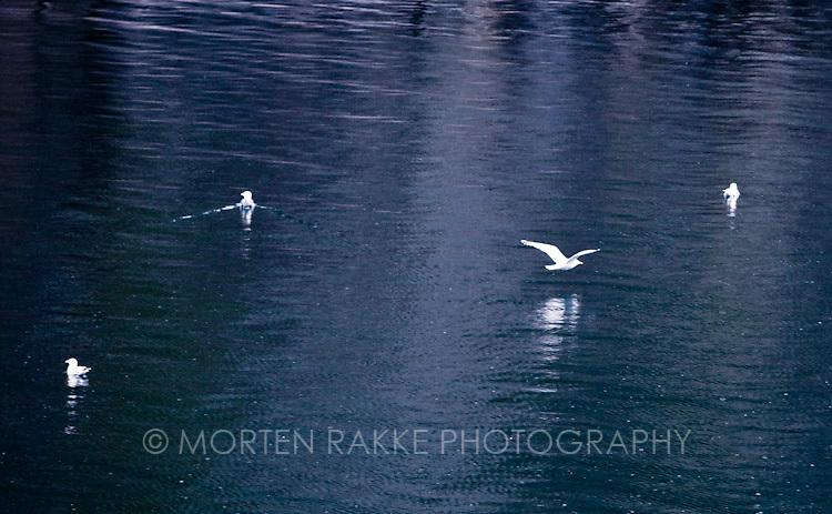 Norway, seagulls flying over sea sea