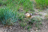 A Yellow-bellied Marmot (Marmota flaviventris) eating grass in Kekuli Bay Provincial Park near Vernon, British Columbia, Canada