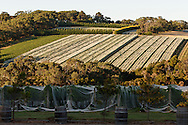 Vineyard, Red Hill Region, Mornington Peninsula, Victoria, Australia.<br /> <br /> For larger JPEGs and TIFF Contact EFFECTIVE WORKING IMAGE via our contact page at : www.photography4business.com