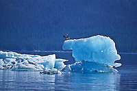 A Bald Eagle departing from its perch on a iceberg.  Holkman Bay, Southeast Alaska.