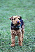 A welsh terrier wears a bandana in a London park