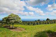 The coffee plantation at the Ka'u Coffee Mill, in the district of Ka'u on the Big Island of Hawaii, USA, America