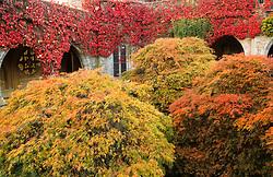 General view of the autumn colours of Acer palmatum and Viginia creeper