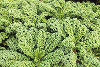 Curly kale grows in an organic garden.