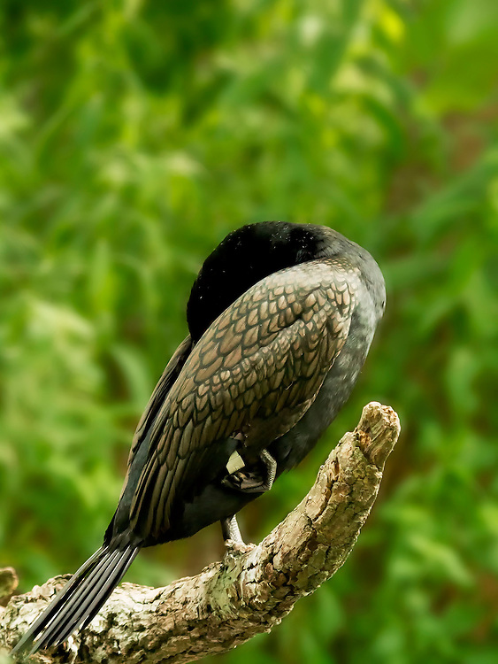 A sleepy cormorant takes a nap on a tree branch