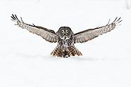 Great Grey & Hawk Owls