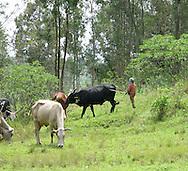 Rwanda-Rwandan youth look after cattle in near the Gary Scheer school in the Southern Province, Rwanda.
