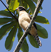 A Laughing Falcon (Herpetotheres cachinnans) Braulio Carillo, Horquetas, Sarapiqui, Costa Rica. 19Nov13