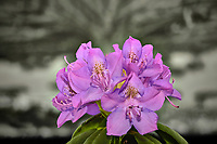Cluster of rhododendron blooms in a light box. Composite of 18 focus stacked images taken with a Nikon Df camera and 105 mm f/2.8 VR macro lens (ISO 100, 105 mm, f/4, 1/125 sec). Focus composite processed with Helicon Focus (Method C)