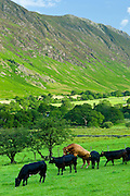 Bull mounting cow in herd of cattle by Maiden Moor in Derwent Fells, Cumbrian mountains in Lake District National Park, UK
