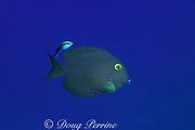 """goldring surgeonfish or """" kole """", Ctenochaetus<br /> strigosus, being cleaned by endemic Hawaiian cleaner wrasse, Labroides phthirophagus,<br /> Kona, Hawaii, USA ( Pacific )"""