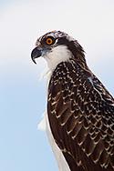 Osprey - Pandion haliaetus