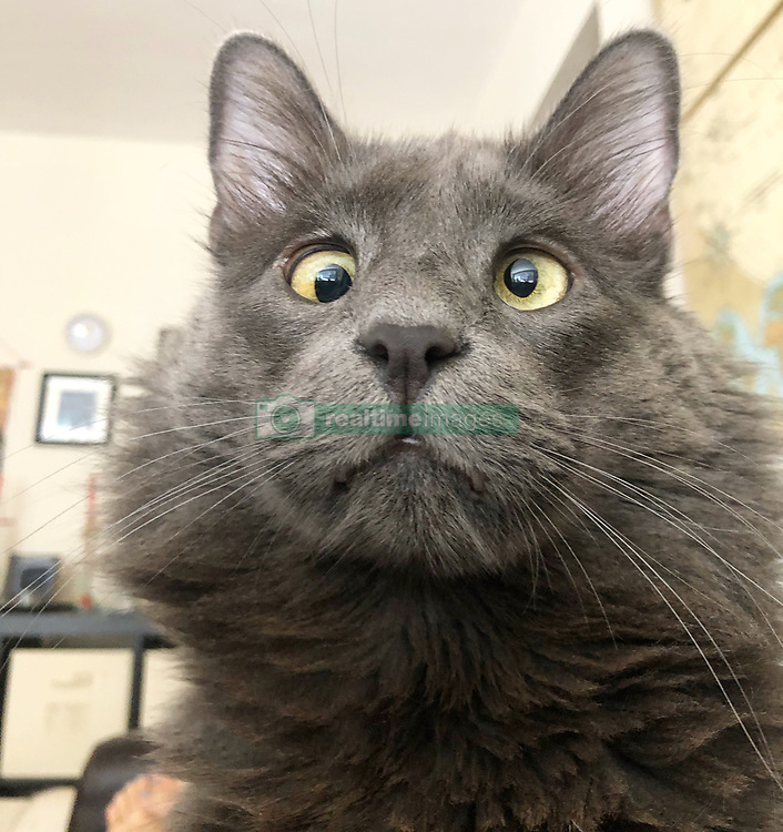"*VIDEO AVAILABLE: info@cover-images.com*<br /> <br /> A cross-eyed rescue cat is using his unusual looks to raise thousands of dollars for charity. <br /> <br /> Belarus has been blighted with a 'confused' expression thanks to a condition called strabismus. <br /> <br /> He lives in San Francisco with owner Rachel Krall, who adopted him from a shelter after seeing him online. <br /> <br /> He was surrendered to San Francisco Animal Care & Control (SFACC) by his previous family, due to landlord issues <br /> <br /> Rachel explains: ""He is a very active and extremely curious cat.  He loves to play with balls, twist ties, and almost any other small object he can get his paws on.  He seems highly intelligent and doesn't let his wonky eyes slow him down."" <br /> <br /> ""Dr Travis Strong partnered with us to share more about strabismus, which is the medical term for the eye condition he has. It just means that the muscles that hold his eyes in place may have an abnormal position or may be damaged, causing the gaze to be displaced.  This condition doesn't cause pain and hasn't impacted his day-to-day. <br /> <br /> ""Since his adoption, we have raised and donated $1000's to animal charities to help other animals in need through his online presence.  In 2019, we partnered with Friends of SFACC, Cat Town of Oakland, and Sonoma Community Animal Response Team."" <br /> <br /> Belarus merchandise:  http://www.belarusthecat.com/merchandise/<br /> <br /> Where: San Francisco, United States<br /> When: 31 Aug 2019<br /> Credit: my_boy_belarus/Cover Images<br /> <br /> **MANDATORY CREDIT: Rachel Krall/Cover Images. Only for use in this story. Editorial Use Only. No stock, books, advertising or merchandising without photographer's permission**"