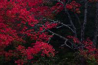 https://Duncan.co/red-maple-tree-at-dusk