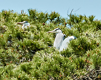 Gray Heron (Ardea cinerea). Parque Nacional de Donana. Image taken with a Nikon N1V2 camera, FT1 adapter,  and 80-400 mm VR lens.
