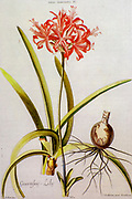 Coloured Copperplate engraving of a Nerine sarniensis, (Guernsey lily or Jersey lily) from hortus nitidissimus by Christoph Jakob Trew (Nuremberg 1750-1792)