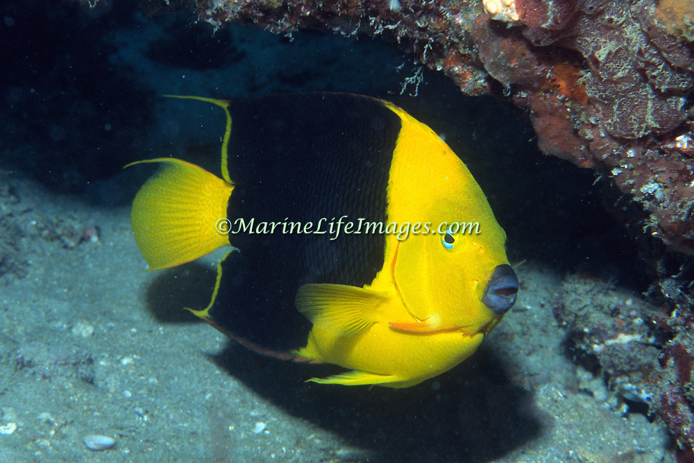Rock Beauty inhabit reefs and surrounding areas in Tropical West Atlantic; picture taken Grand Cayman.