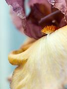 Iris 'Bold Expression' - tall bearded iris